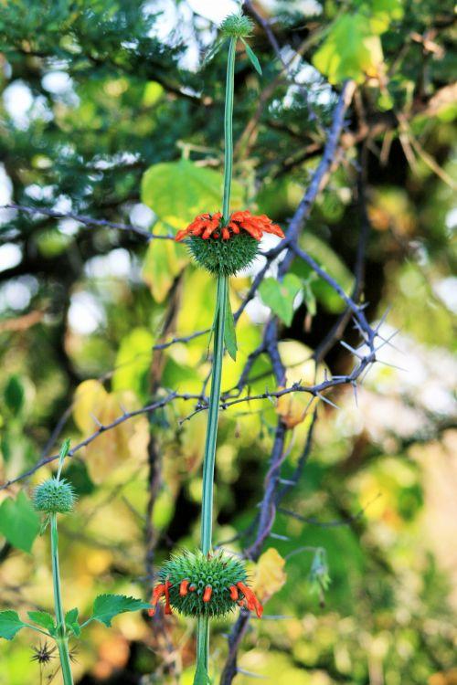 Wild Growing Whorl Flowers