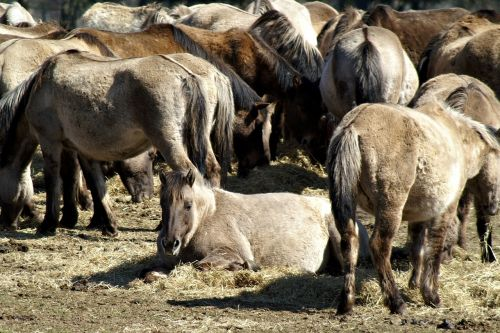 wild horse wild horses graze