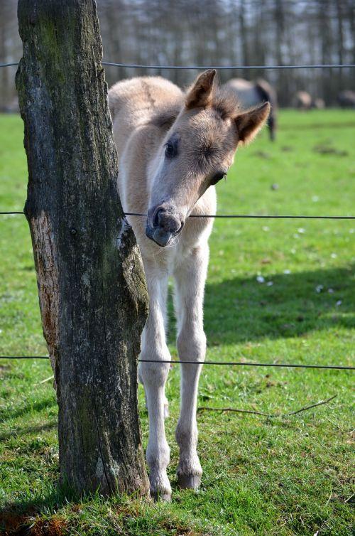 wild horse foal dülmen germany