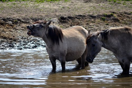 wild horse dülmen germany mammal