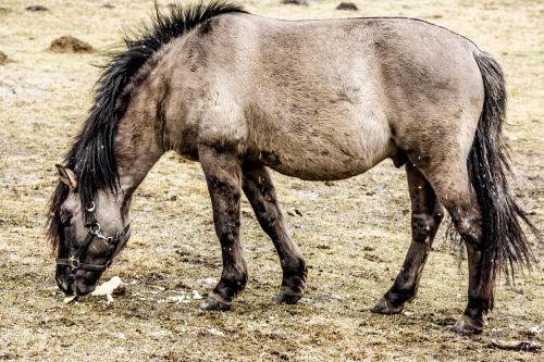 wild horse tarpan as the undomesticated tarpan