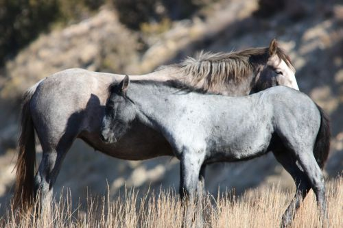 wild horses mare mustang