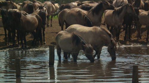wild horses horses freilebend
