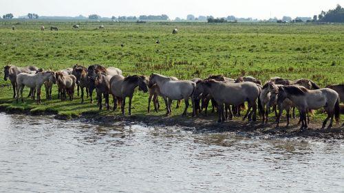 wild horses horses herd nature reserve