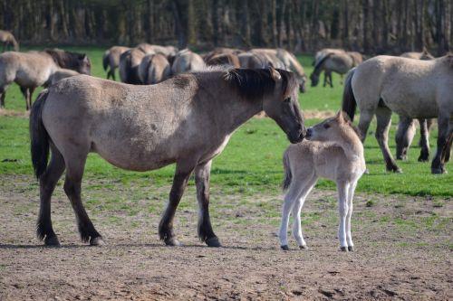 wild horses mare and foal dülmen germany