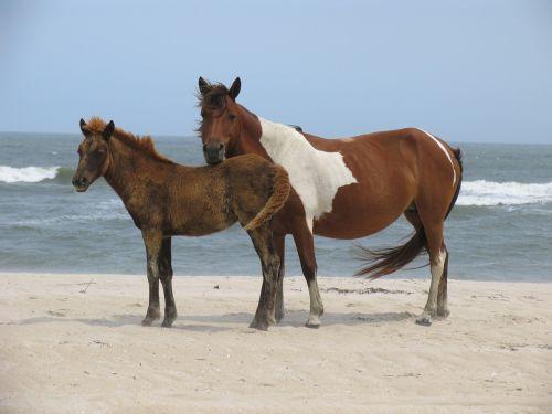 wild horses assateague island beach