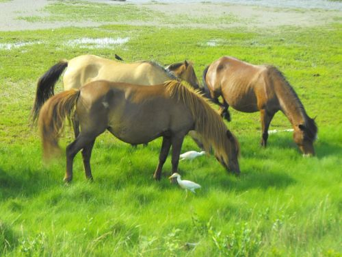 wild horses assateague island beach