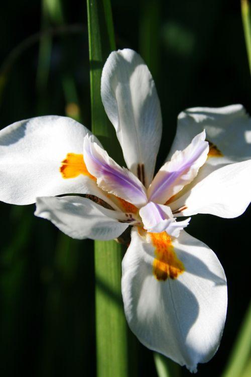 gėlė, balta, žiedlapiai, subtilus, ženklinimas, geltona, violetinė, laukiniai & nbsp, iris, laukinės rainelės gėlės 3