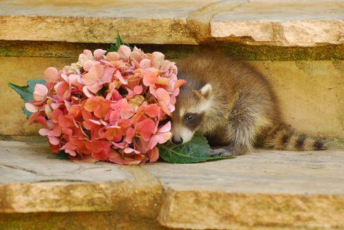 wild life baby raccoon animal