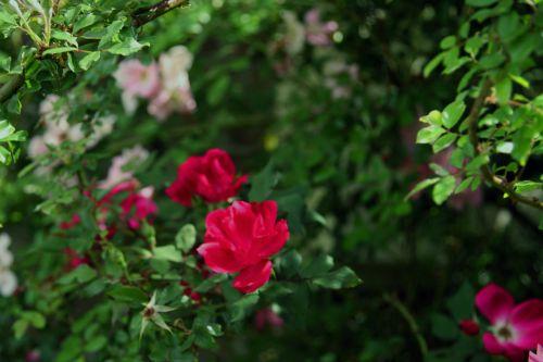 Wild Magenta Rose Bush