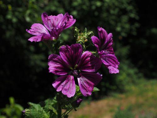 laukinis malvelas,gėlė,žiedas,žydėti,violetinė,violetinė,malva sylvestris,didelės rūšys,Mallow,malvaceae,Malva,dekoratyvinis augalas,dekoratyvinė gėlė,rožinė violetinė