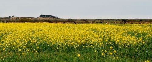wild mustard yellow countryside