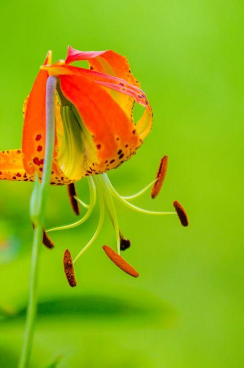 Wild Orange Lily