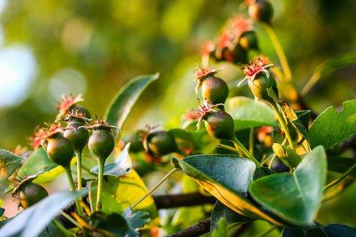 wild pear  pear  crop