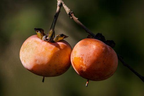 wild persimmon fall fruit autumn fruit