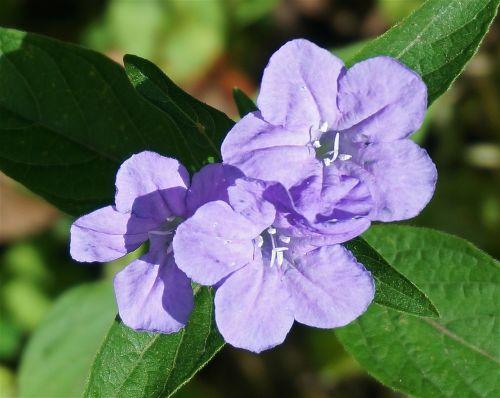 wild petunia close-up petunia