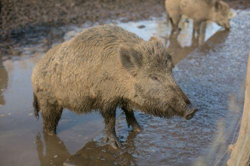 wild pig hatchery animals