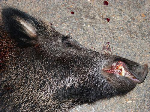 wild pig head hunting