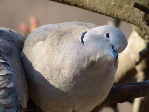 wild pigeon turtle dove view