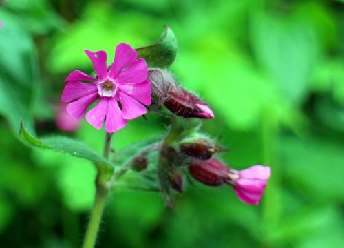 wild plant carnation family red campion
