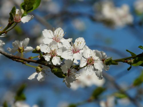 wild plum blossom bloom