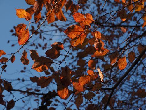 wild plum leaves red
