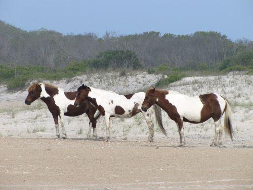 wild ponies looking pinto