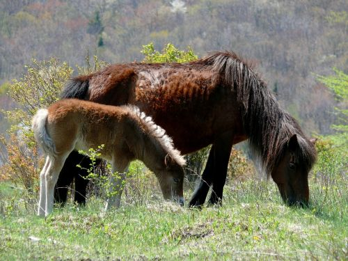 wild ponies ponies mare
