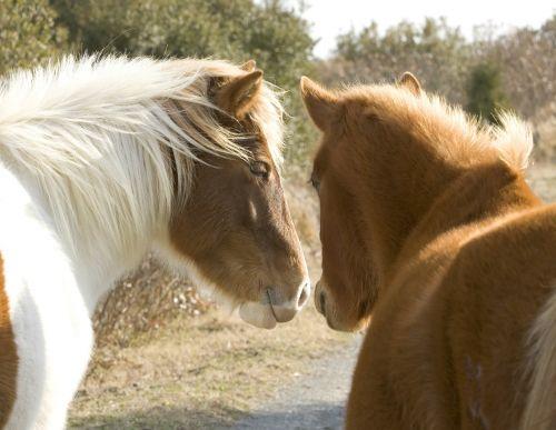 wild ponies ponies assateague island