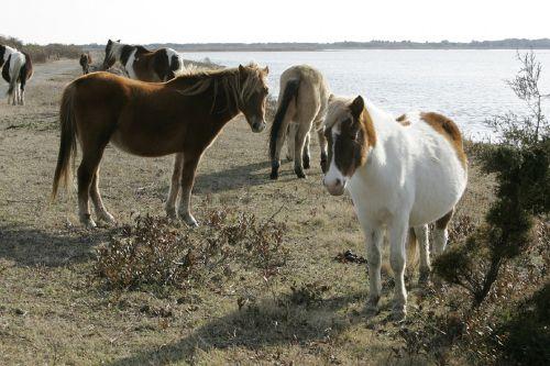 wild ponies herd ponies