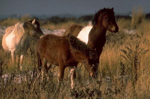 wild ponies grazing prairie
