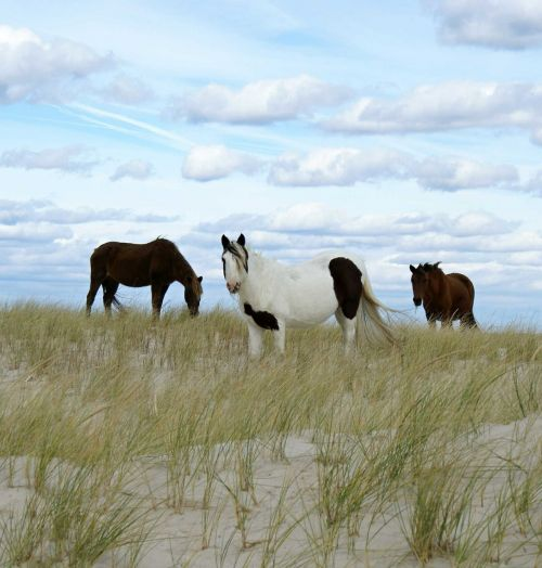 wild ponies grazing ponies