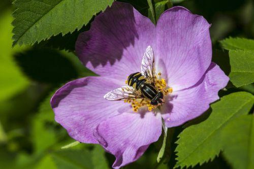 Laukinė rožė,bičių,gėlė,vabzdys,laukinė gamta,gamta,žiedadulkės,žydėti,žiedas,augalas,nektaras,makro