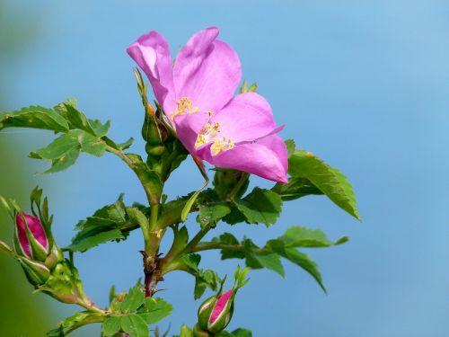 wild rose wild plant