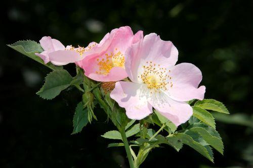 wild rose bush rose blossom