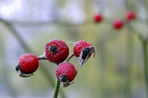 wild rose frost winter