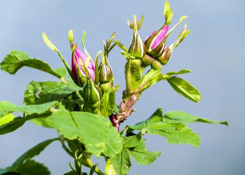 wild rose bud flower
