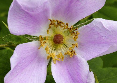 wild rose flower pink