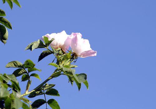 wild rose flower rose