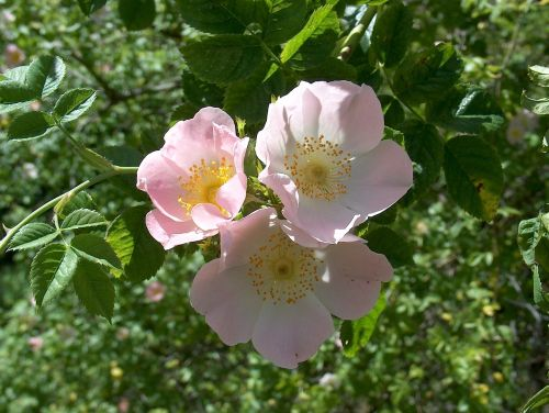 wild rose dog rose rose hip