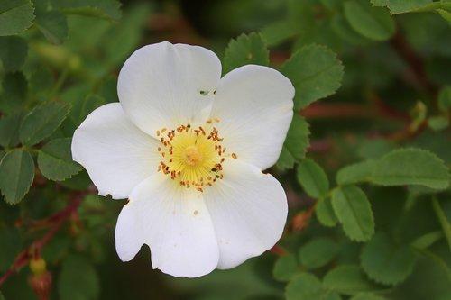 wild rose  white  pink corymbifera