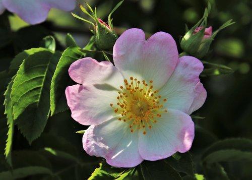 wild rose  pink  rose