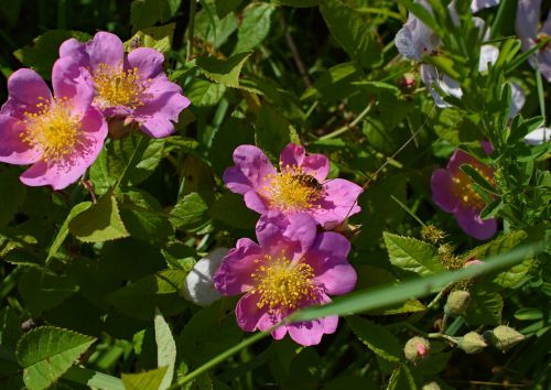wild roses with hornet wildflower flower