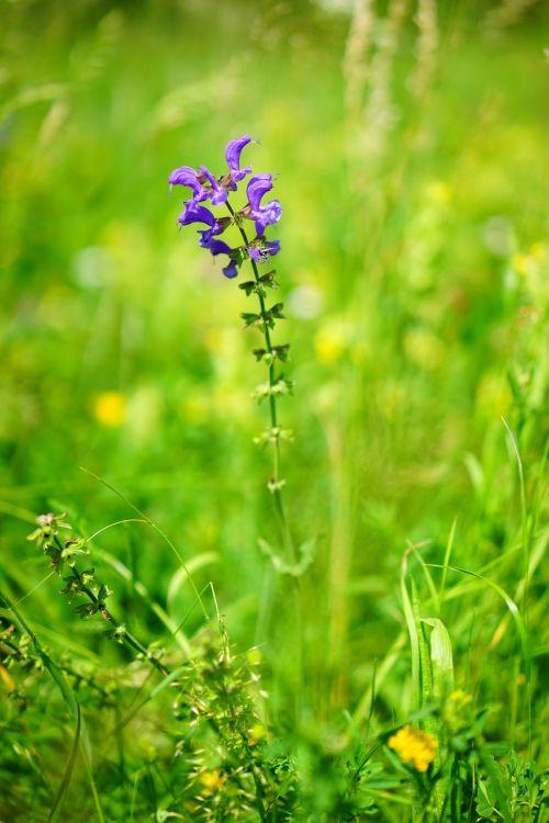 wild sage flower blossom