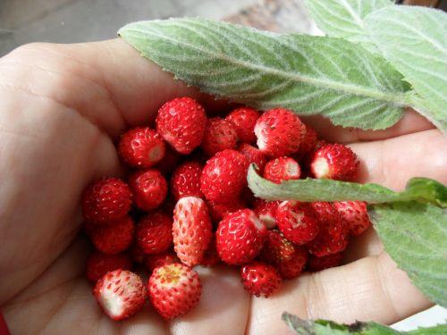 wild strawberries berries straw
