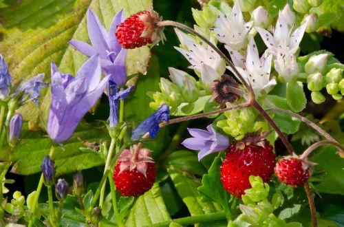 wild strawberries nature summer