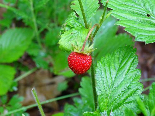 wild strawberries forest summer