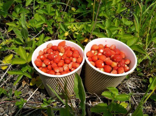 wild strawberry berry the strawberries
