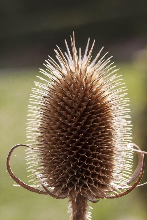 wild teasel  dipsacus fullonum  dry