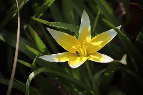 wild tulip  late wild tulip  tulip